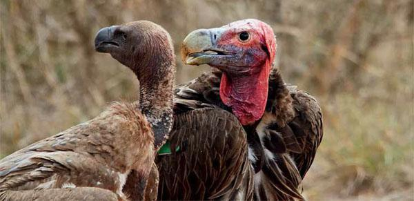 """White-backed vultures (left) have suffered greatly through secondary poisoning - the real targets are animals """" such as lions. Lapped-faced vultures (right) occur in much lower numbers but fall victim as well."""