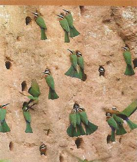 White-fronted bee-eater colones (summer)