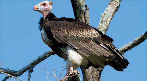 White-headed vultures and other tree-nesters tend to breed within protected areas. As people Increasingly dominate areas outside reserves. It becomes tougher for vultures to survive.
