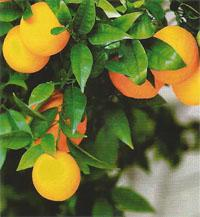 Try out Rottcher Wineries' range of Avalencia, a sweet alcoholic drink made from oranges.