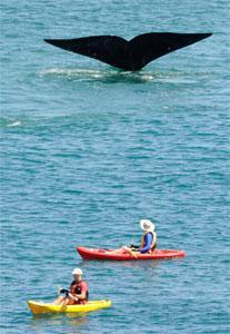 De Kelders Whales, Cape Overberg