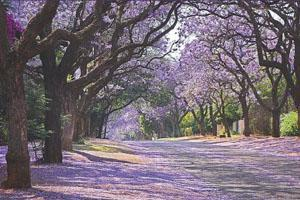 Jacaranda Trees in November