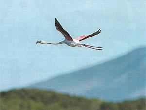 A Greater Flamingo wings its way over the Klein River Lagoon.