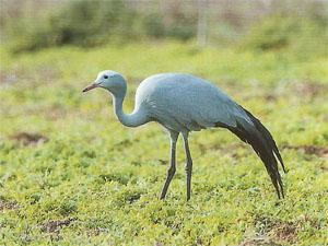 Blue Crane feeding among the cultivated lands that surrounds Stanford