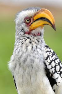 Yellow Billed Hornbill in Kruger National Park