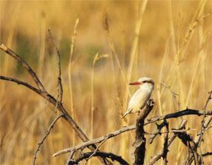 We were doing a game count near Xaranna Lodge in the Okavango Delta, Botswana, when we caught sight of this pale bird, which we identified as a striped kingfisher.