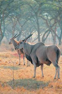 Eland used to occur naturally before being shot out but have since been reintroduced in some private reserves