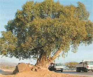 Getting the highway rerouted to save this fig tree is a success story for the green movement