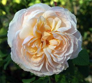 'Garden and Home' Rose