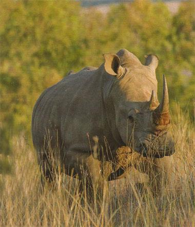 White Rhino and other wildlife sightings are almost guaranteed at Plumari Game Reserve.