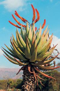 The Aloes can be spectacular