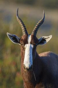 A bontebok ram surveys his visitors