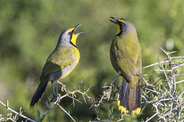 A pair of Bokmakieries sing a duet