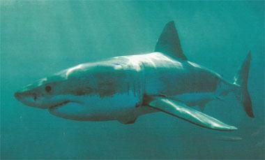A three year research project into preventing great white sharks attacking humans is udnerway in Mossel Bay