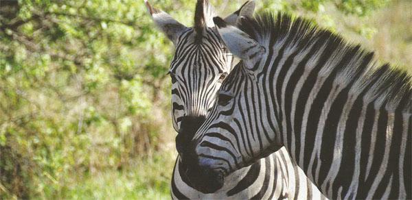 Large number of game have been reintroduced including zebras