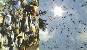 "The migration of the ""Flying Foxes"" or straw coloured fruit bats in Kasanka National Park"