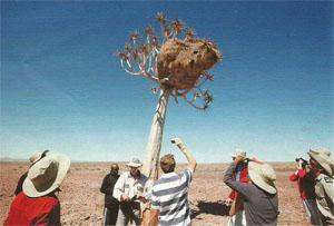 The group on an outing with Antjie Burke as she talks about Sociable Weavers, nesting here in a quiver tree.