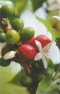 Each coffee cherry ripens at a different time