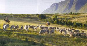 Playing 'cowboys' is all in a day's work for Linda and Piet Muir as they bring in the sheep at Oudebosch Guest Farm