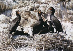 The island is a nesting site for a colony of Cape Cormorants