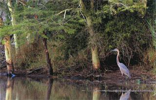 A Goliath Heron on the shore of Ensumo Pan