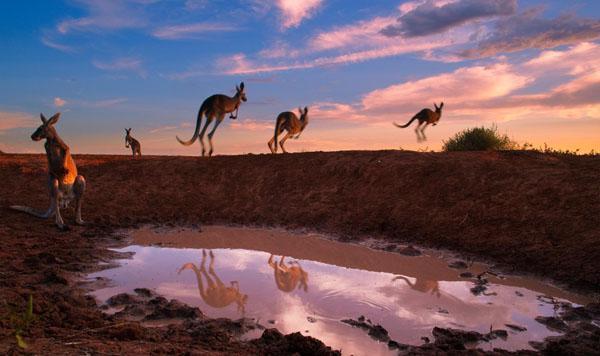 """Red kangaroos at waterhole"" by Theo Allofs"