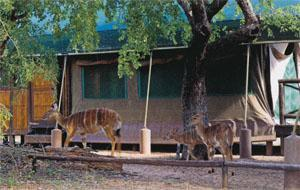 The camp is not fenced and visitors can get really close to nature. Nyala, impala and monkeys are regular visitors.