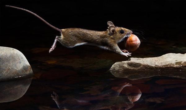 """""""Yellow-Necked Mouse"""" by Carsten Braun"""