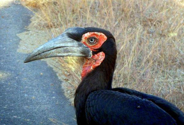 Adult southern ground-hornbill in all its glory. These birds hang around in groups of about 4 or 5 and do not flee approaching vehicles. These in fact caused quite the traffic jam!