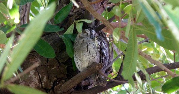 An African scops owl huddled up for a day of rest. In woodland habitats the scops owl blends in surreptitiously with the bark of trees.