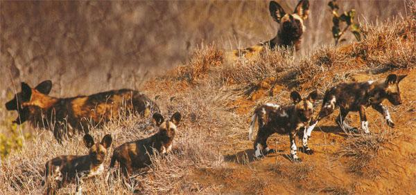 Dens Wild dogs den down for about three months of every year, the alpha female having up to 16 pups. 'Minders' are often left on guard at dens to ensure the safety of the pups. Alarm calls by the adults alert youngsters to danger when they are exploring outside the den. They react by immediately dashing below ground.
