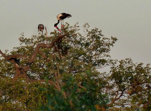 Saddle-billed stork and juvenile. Although these are large wading birds, they nest in trees and after a period of incubation chicks will stay in the nest for up to 100 days before flying.