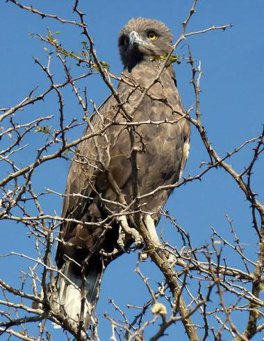 The brown snake eagle is a prominent sight in the Kruger Park, often seen atop trees. In true snake eagle fashion, these hunters descend on their snake prey, crushing the spine with their talons and biting the head simultaneously.
