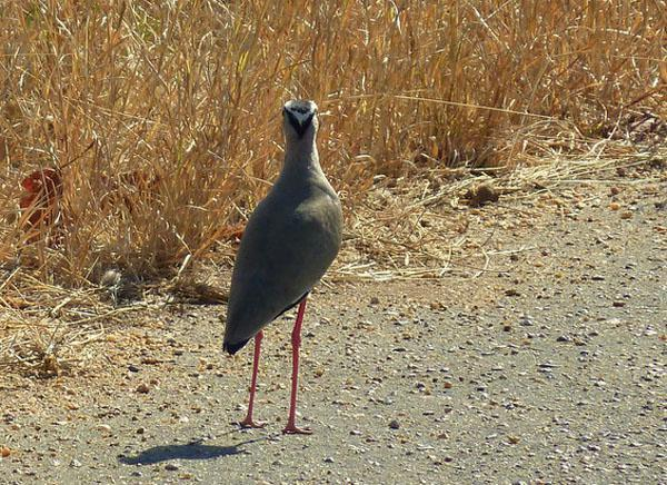 The crowned lapwing. This was one of a pair that were noisily and conspicuously occupying this patch of road. We suspect there was a nest nearby, as lapwings act very defensively when they have eggs, even adopting a spread-winged stance when provoked