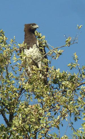 The stern looking martial eagle scanning the surroundings for prey.