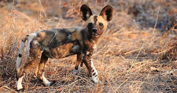 Hearing The big ears of wild dogs indicate the importance of hearing, not only for communication and the detection of predators, but also for finding food. The position and movement of the big, conspicuous ears communicate mood and intent between members of the species.