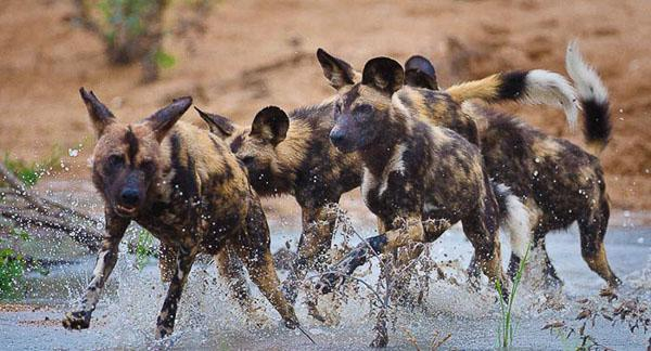 Wild dogs roam far and wide to hunt but during denning their home range can shrink by about 90 per cent