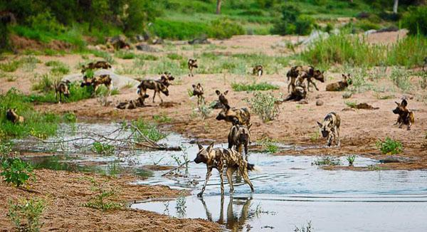Emigration The pack breaks up once the maximum number of individuals that can survive without stress in a given habitat is reached. As conditions fluctuate, stable sub-units split and merge. Sometimes younger individuals leave the social unit to seek breeding opportunities, either of their own accord or because they are pushed out. In the case of the African wild dog, it is the female who leaves in the hope of breeding opportunities.
