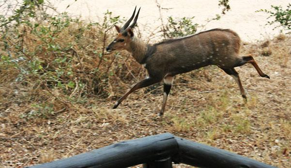 A male bushbuck in hot pursuit.