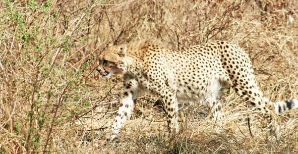 Cheetah in the Kruger National Park