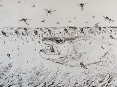 Feeding frenzy (Reference: Dave Whitlock – Guide to aquatic Trout foods).
