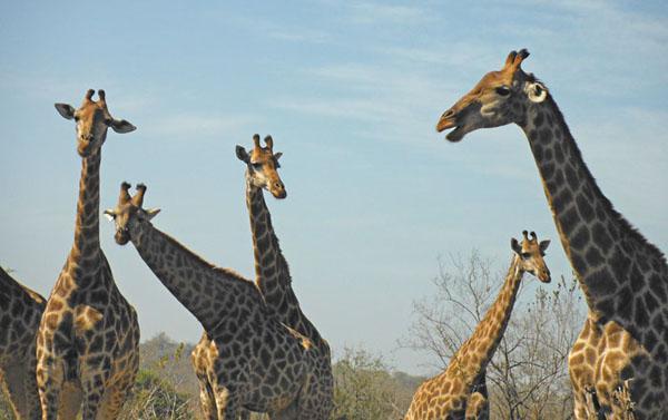 Giraffes in the Kruger National Park