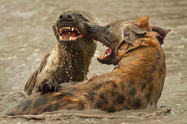 Hyena Playing