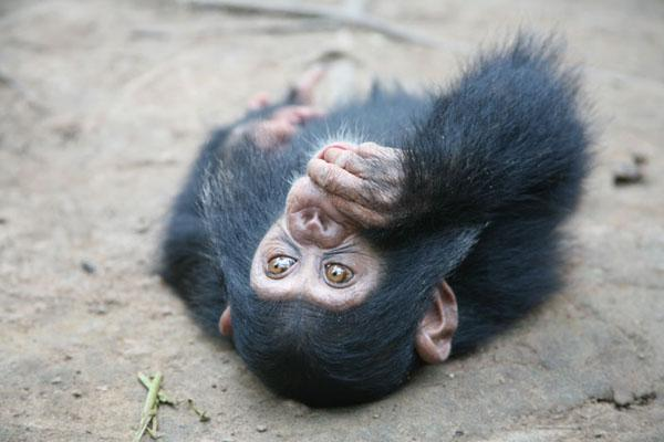 Rescue Apes