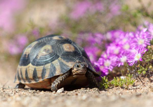Namaqualand Tent Tortoises are everywhere along this stretch of coastline. Keep a sharp lookout for them crossing the roads.