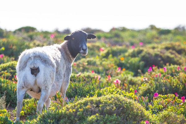 This stretch of the coastline is not inside the Namaqua National Park and sheep graze freely between the road and the sea.