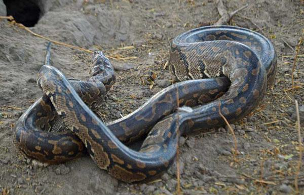 Dining with an African rock python in Botswana