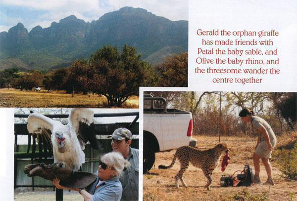 TOP LEFT: The spectacular scenery of the Limpopo Loop. ABOVE LEFT: It's a challenge to hold a vulture on your arm at Moholoholo. ABOVE: Treat time for a cheetah after chasing the decoy on the Cheetah Run at Hoedspruit Endangered Species Centre.