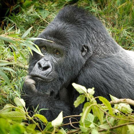 Gorilla trekking: Rwanda or Uganda?