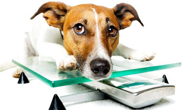 Is your pet heading towards obesity?